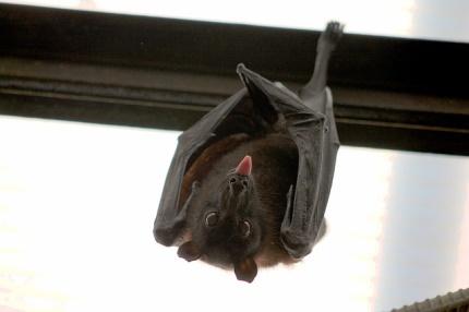 Fledermaus im Haus - Was nun -